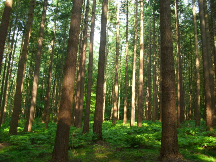 Waldbau Douglasienbestand